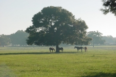 Horses in a foggy field