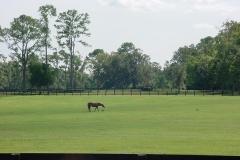 A horse grazing