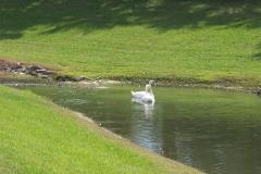 Swans Ocala Palms