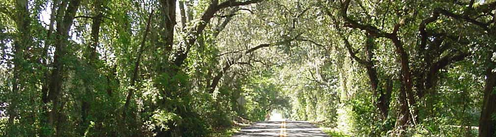 Live Oaks hanging over back road